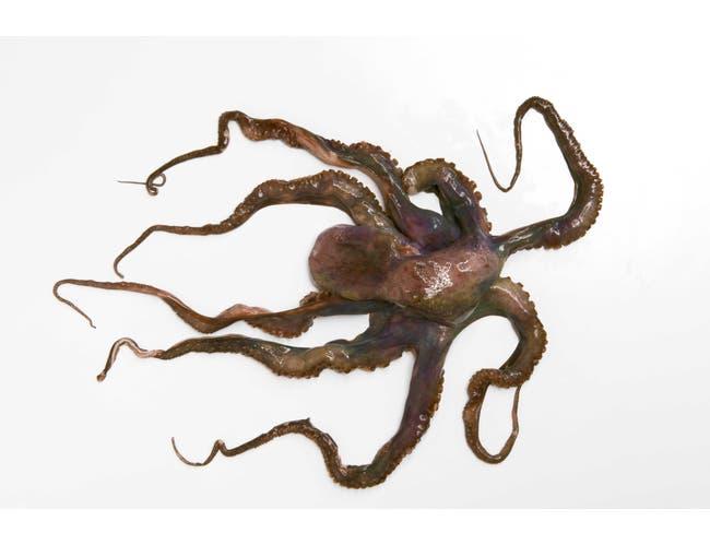 Pana Pesca Whole Clean Octopus - 2/4 Ball, 30 Pound -- 1 each.