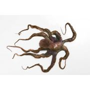 Pana Pesca Whole Clean Octopus - 1/2 Ball, 30 Pound -- 1 each.